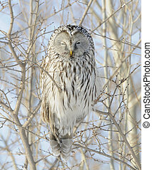 Ural Owl - Getting the Evil Eye from Ural Owl