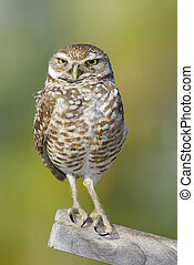 Burrowing Owl on stick with green background