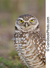 Burrowing Owl portrait with tan or brown background