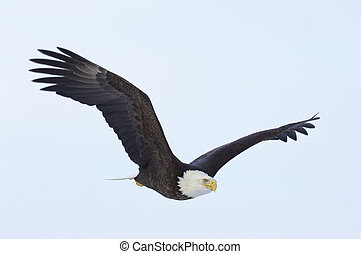 Alaskan Bald Eagle - American Bald Eagle in flight with...