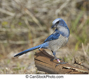 Scrub Jay - Endangered Scrub Jay on log