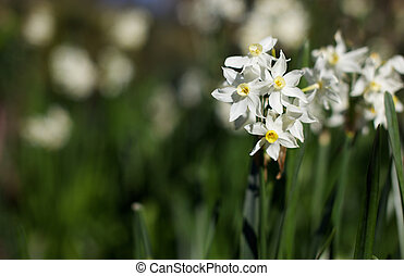 White yellow daffodils - Bunch of blooming white and yellow...