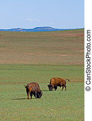 American bisons in green field