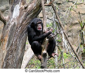 Thoughtful Chimp - Chimpanzee in tree looking Thoughtful