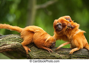 cute golden lion tamarins with baby (Leontopithecus rosalia)...