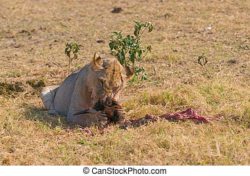 Lion eating wildebeest, Amboseli national park, Kenya