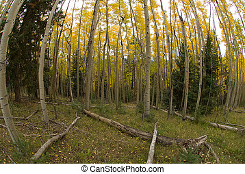 Aspen grove - Autumn view of fall aspen grove