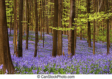 April woods - Millions of wild hyacinth flowers in the...