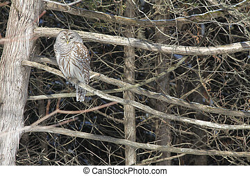 Barred Owl on a Branch