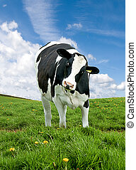 Friesian Cow - Single Friesian cow in a field with curious...