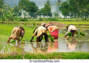 Working the ricefields in Indonesia - Women collecting rice...