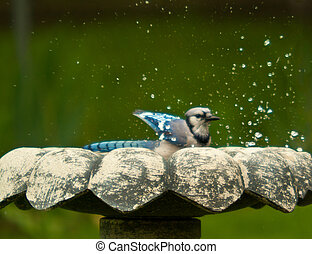 Bluejay Bird - Bluejay sitting there feeding and drinking...
