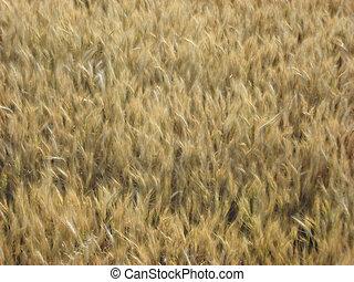 Outono, campo, loiro, trigo, orelhas