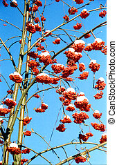 Red rowan buches - Red rowan bunches with snow on them in...