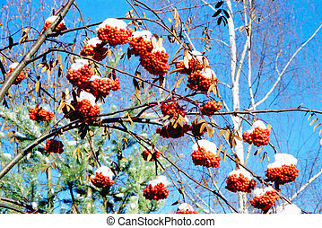 Rowan in winter - Red rowan bunches with snow on them in the...