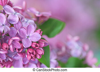 lilac - Close-up of lilac;