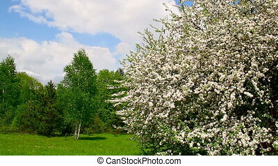 apple tree blossom, spring landscape