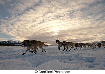 Team of sleigh dogs pulling - Team of enthusiastic sled dogs...