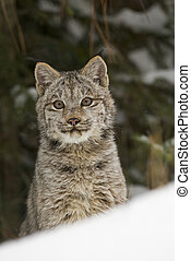 Lynx portrait in deep snow