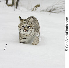 Bobcat walking in deep snow