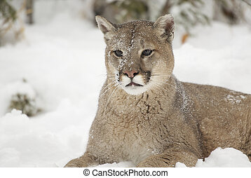 Courgar - Portrait of Mountain Lion in winter snow