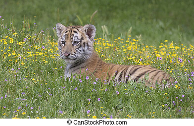 Tiger Cub - Tiger cub in yellow flowers