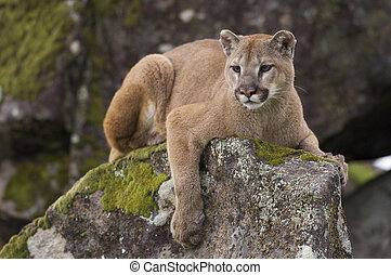 Mountain Lion on moss covered rocks