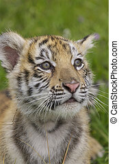 Tiger Cub - Tiger cub in deep grass and yellow flowers