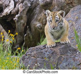 Tiger Cub - Tiger cub gray rocks with yellow flowers