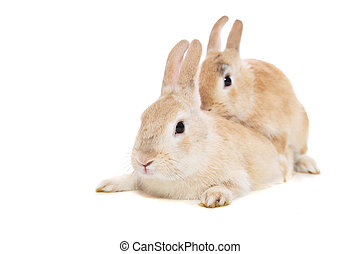 Mating rabbits. All on white background.