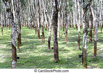 Rubber Estate - Rows of tapped rubber trees at a rubber...