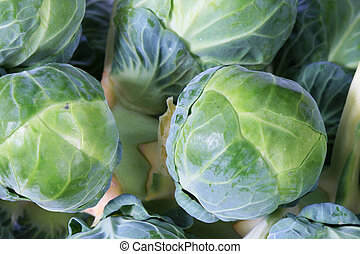 brussel sprout stalk macro - macro of a stalk of brussel...