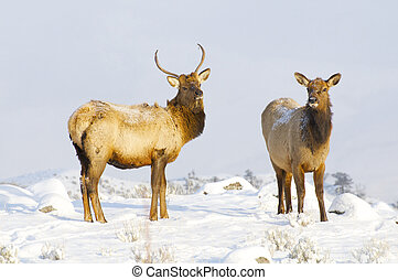 Elk - Pari of Elk on snow covered hill