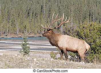 Canadian Elk on grass hill with trees and stream in...