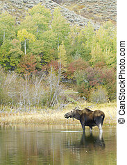 American Moose in lake with trees during autumn