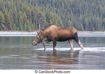American Moose in lake water with trees