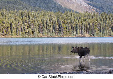 American Moose in lake water with trees and mountain...