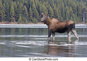 Cow Moose - Female cow Moose in water with green trees in...