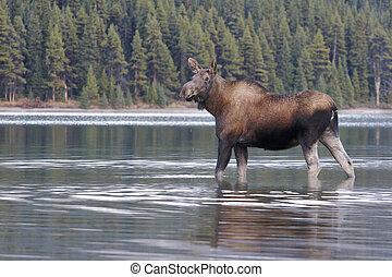 ko, Moose