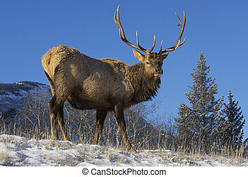 Canadian Elk on snow covered hill in Rocky Mountains
