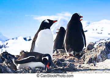 penguins in Antarctica - penguins on the stony coast of...