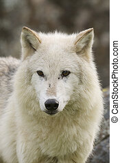 Gray Wolf portrait with rocks in background