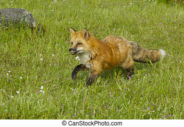 Red Fox in green grass with flowers