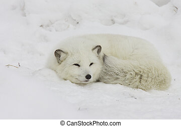 Arctic Fox sleeping in deep snow
