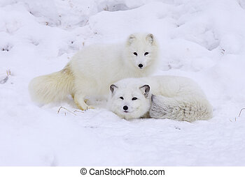Arctic Foxes in deep snow