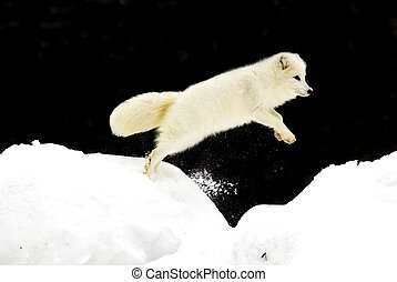 Arctic Fox jumping in deep snow