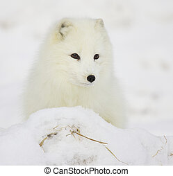Arctic Fox in deep snow