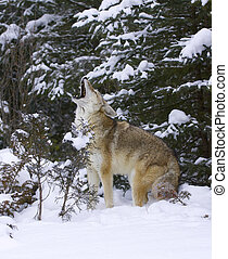Howling Coyote with snow background