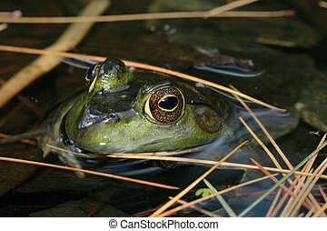 frog in pond - the head of a green frog pokes out of a pond