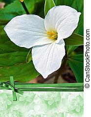 Trillium Blossom - Extreme close up of a trillium blossom...